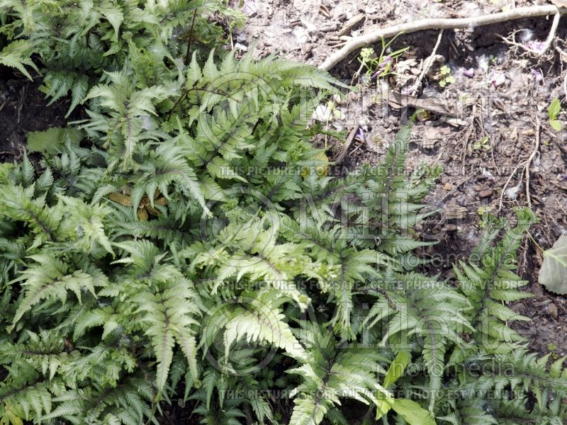 Athyrium Applecourt or Apple Court (Japanese painted fern) 4