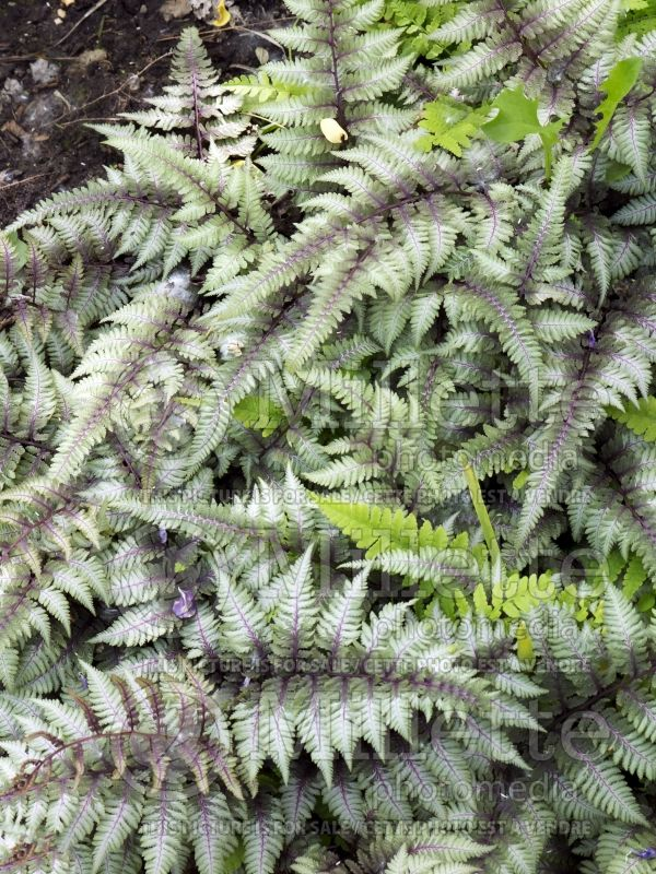 Athyrium Burgundy Lace (Japanese painted fern) 3