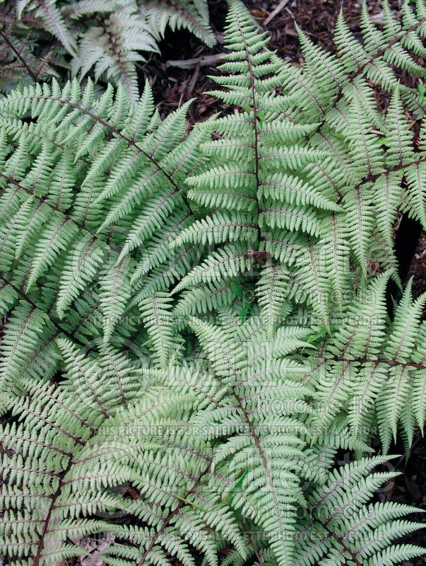 Athyrium Pearly White (Japanese painted fern) 1