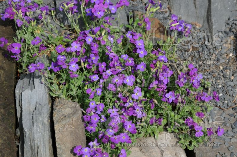 Aubrieta Whitewell Gem (False Rock Cress) 1