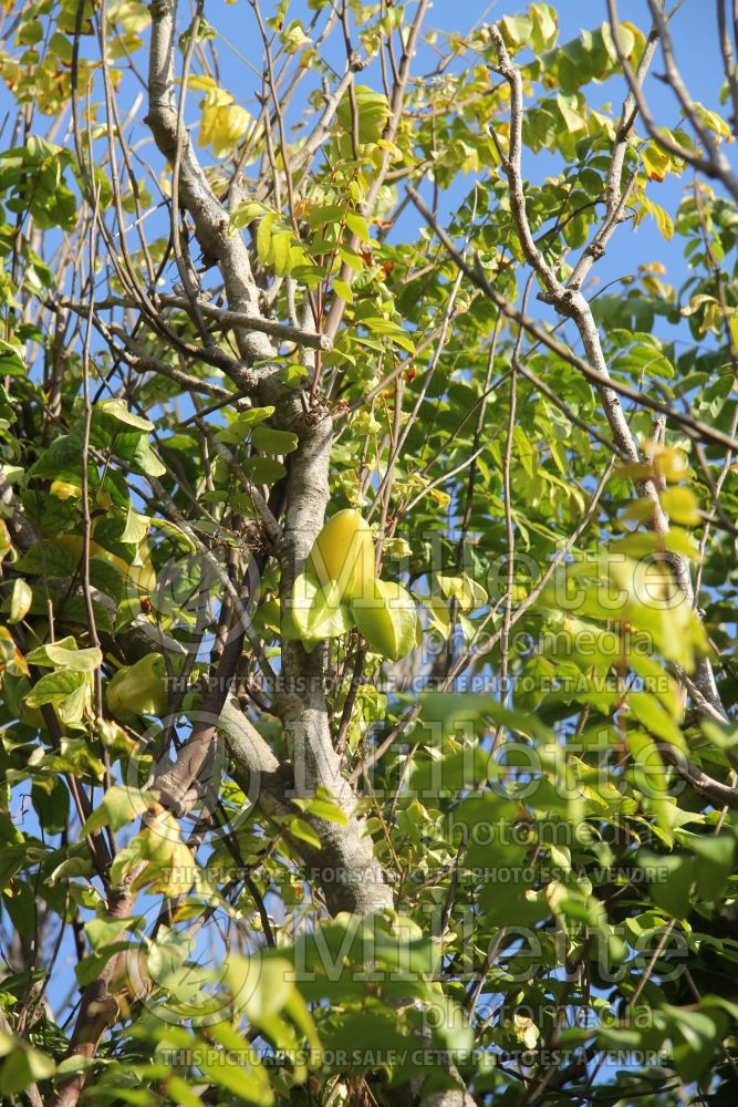 Averrhoa carambola (star fruit) 2