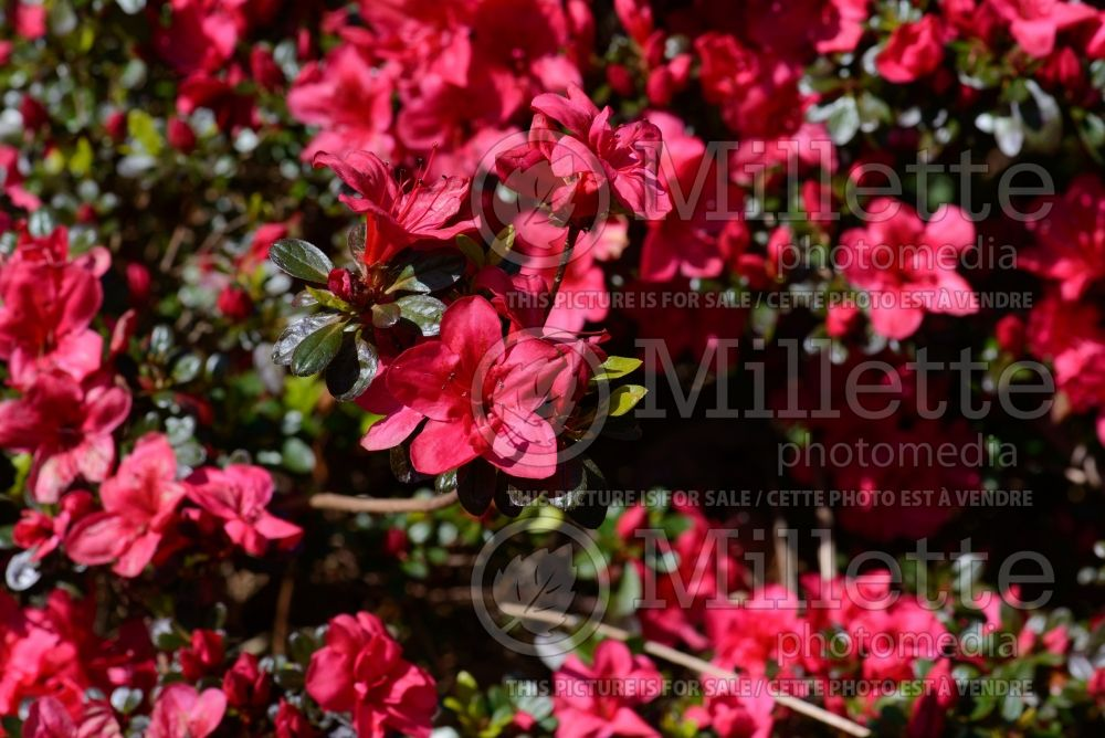 Azalea aka Rhododendron Mother's Day (Rhododendron) 2