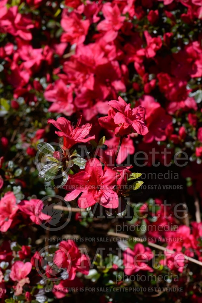Azalea aka Rhododendron Mother's Day (Rhododendron) 1