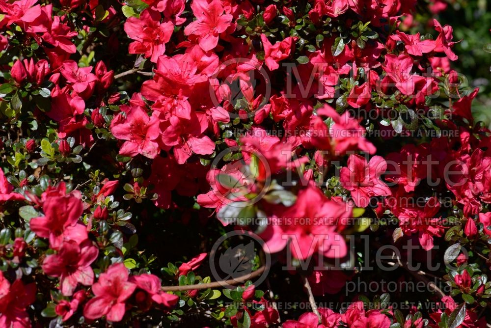 Azalea aka Rhododendron Mother's Day (Rhododendron) 3