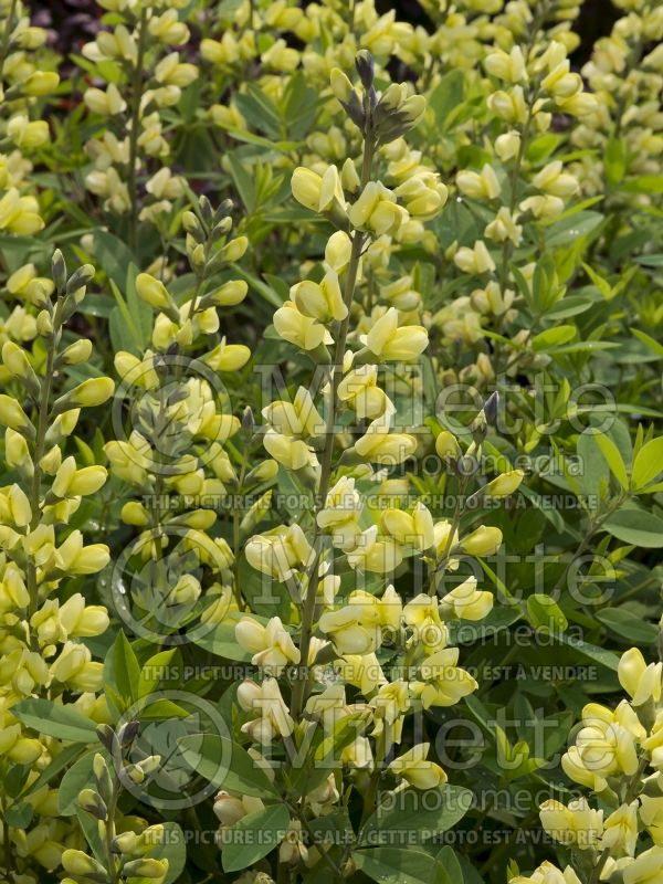 Baptisia Carolina Moonlight  (Wild Indigo or False Indigo) 14