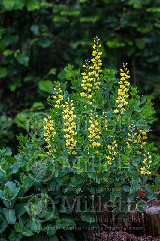 Baptisia Decadence Lemon Meringue (Wild Indigo or False Indigo) 6