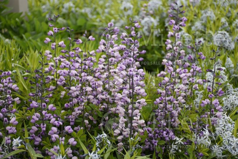 Baptisia Purple Smoke (Wild Indigo or False Indigo) 3