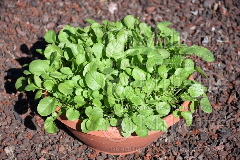 Barbarea SimplySalad (Cress) 1