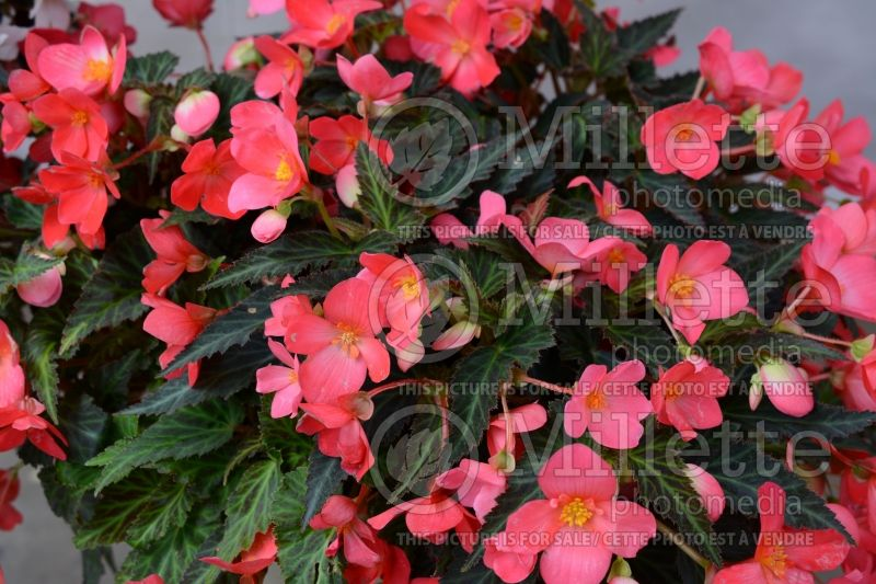 Begonia Unbelievable First Kiss (Begonia) 1