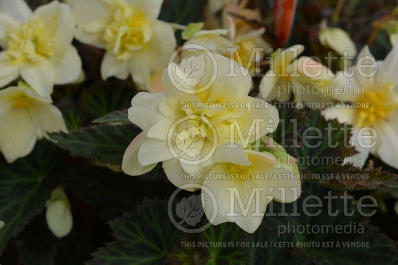 Begonia Unbelievable Tweetie Pie (Begonia) 2