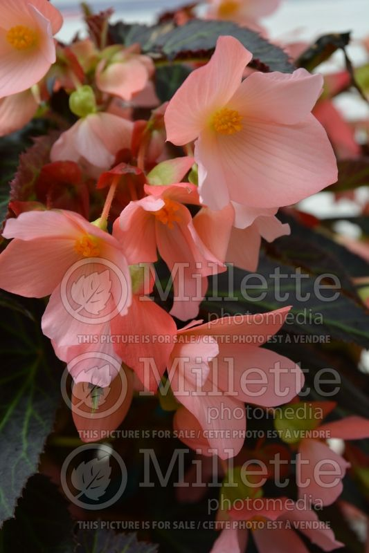Begonia Unstoppable Upright Salmon (Begonia) 1