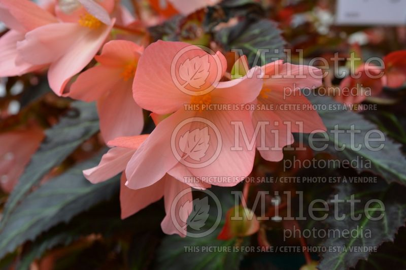 Begonia Unstoppable Upright Salmon (Begonia) 2