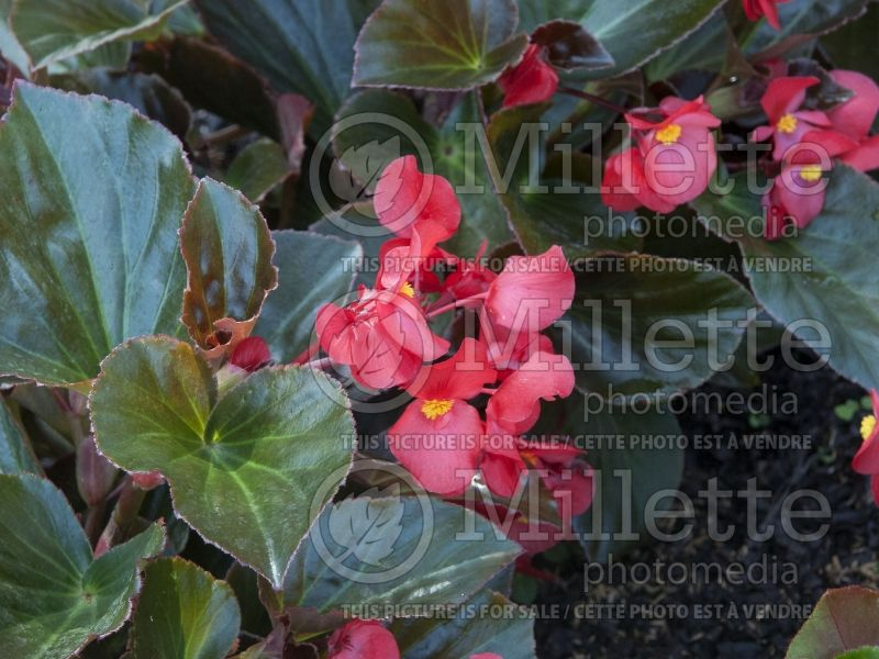 Begonia Whopper Red with Bronze Leaf (Bégonia) 2