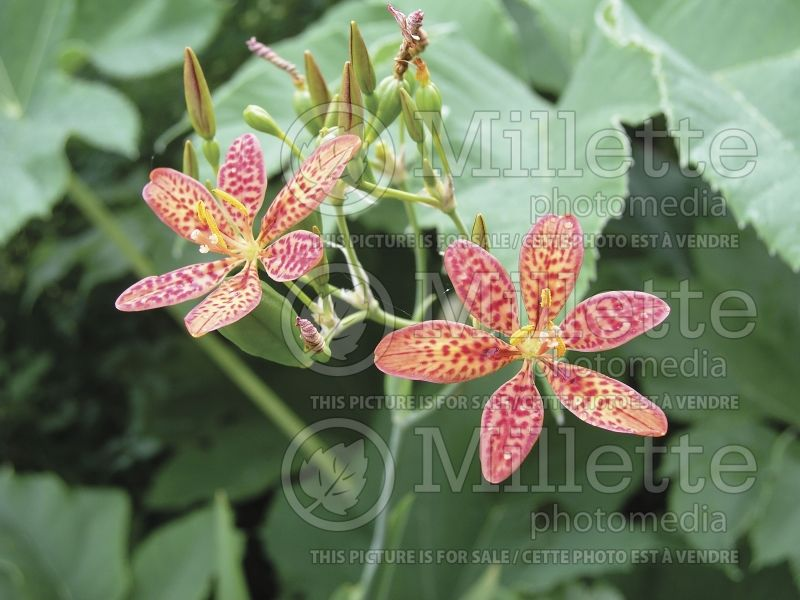 Iris domestica or Belamcanda chinensis (Blackberry Lily) 4