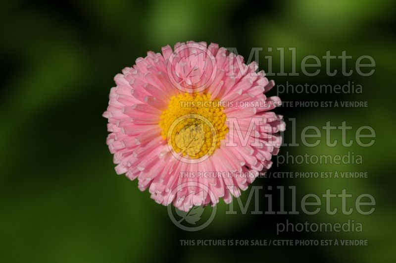 Bellis Pomponette Rose (English Daisy) 1