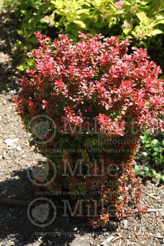 Berberis Admiration (Japanese Barberry) 1