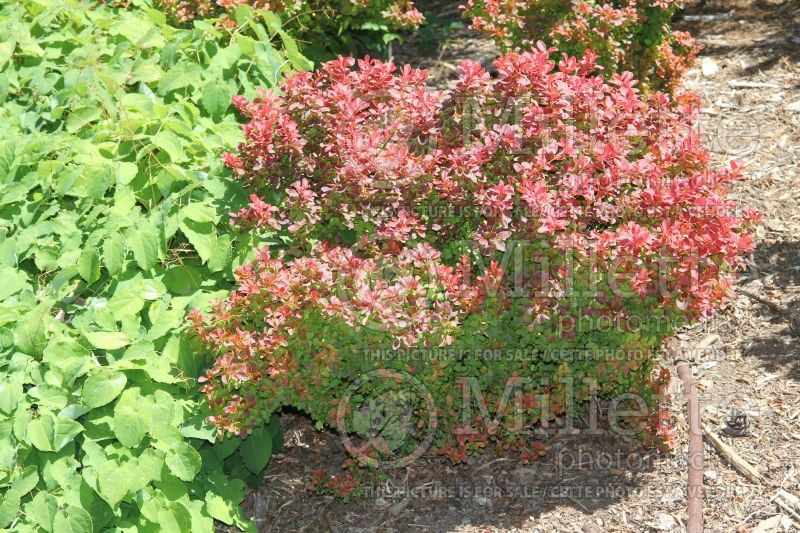 Berberis Admiration (Japanese Barberry) 2