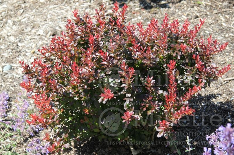 Berberis Atropurpurea (Japanese Barberry) 1