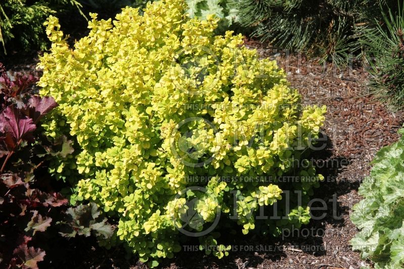 Berberis Golden Nugget (Japanese Barberry) 4