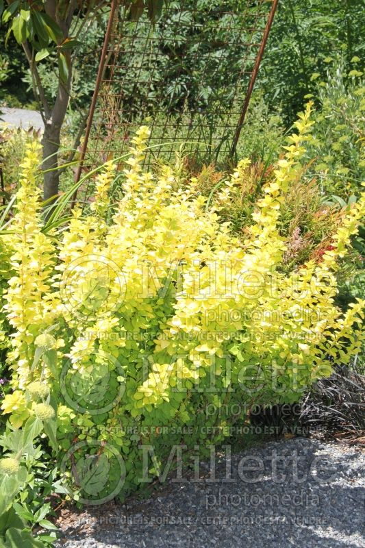 Berberis Sunjoy Gold Pillar or Maria (Japanese Barberry) 2