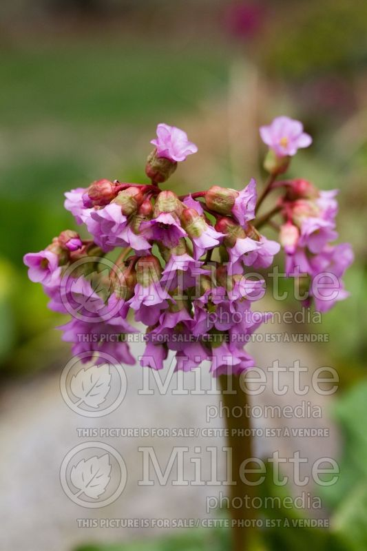 Bergenia Tubby Andrews (Pigsqueak) 6