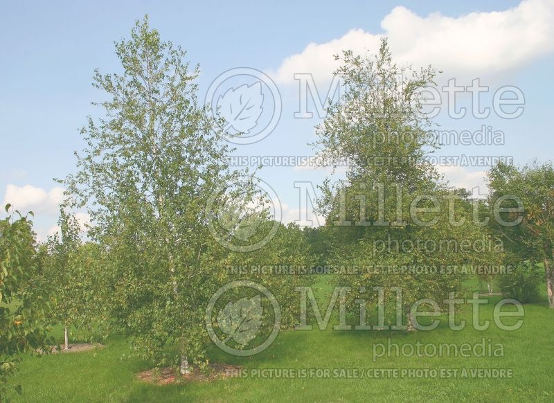 Betula Whitespire (Birch) 4