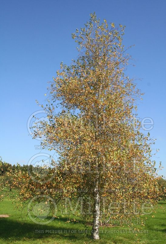 Betula Whitespire (Birch) 6