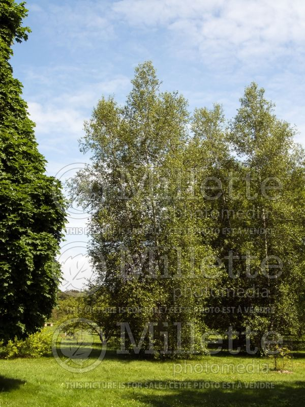 Betula Whitespire (Birch) 2