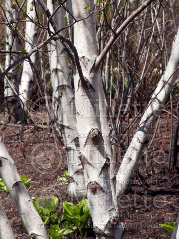 Betula Whitespire (Birch) 3