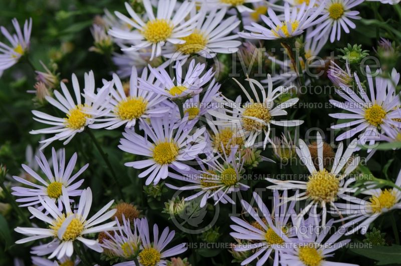 Boltonia Jim Crockett (False aster) 5