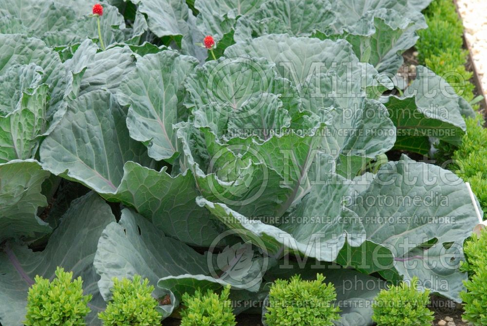 Brassica Colorsa (Cabbage vegetable - chou) 1
