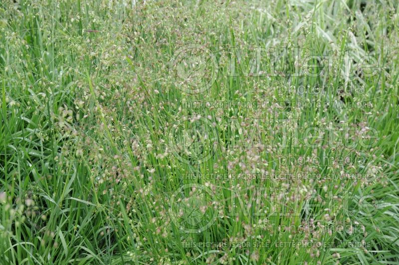 Briza media (common quaking grass Ornamental Grass) 3
