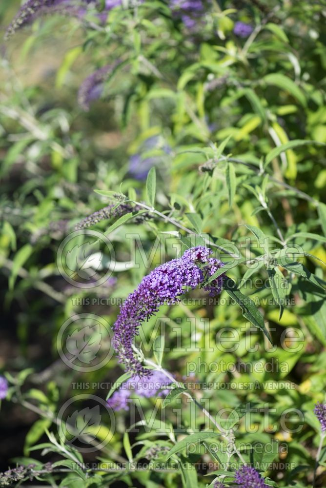 Buddleia Ile De France (Butterfly Bush) 2