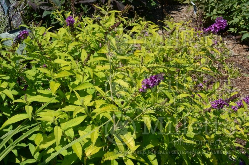 Buddleia or Buddleja Crown Jewels (Butterfly Bush) 1