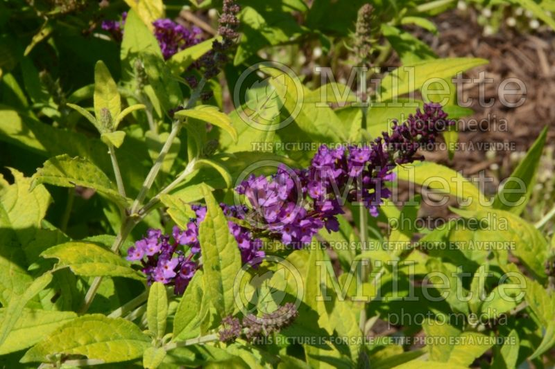 Buddleia or Buddleja Crown Jewels (Butterfly Bush) 2