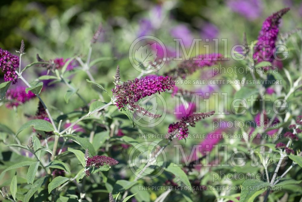 Buddleia aka Buddleja Miss Ruby (Butterfly Bush) 2