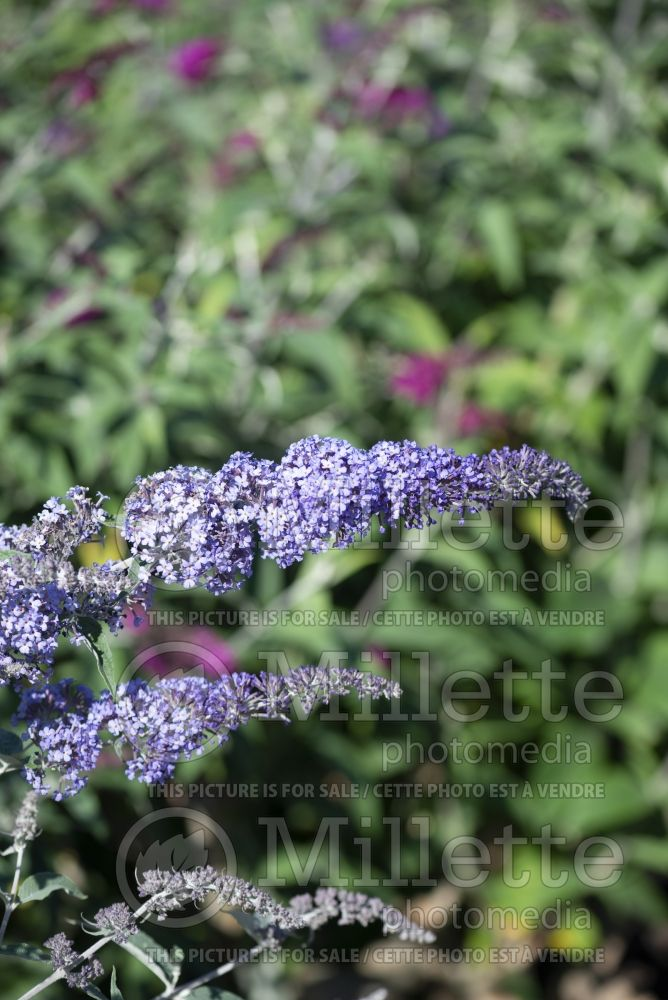 Buddleia aka Buddleja Summer House Blue (Butterfly Bush) 2