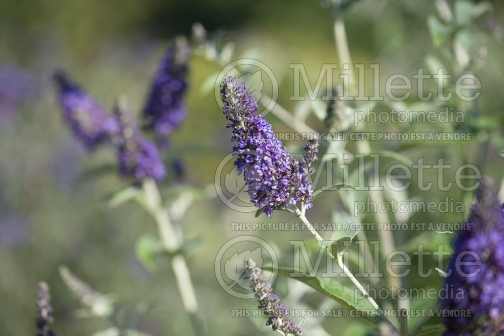 Buddleia aka Buddleja Wind Tor (Butterfly Bush) 1