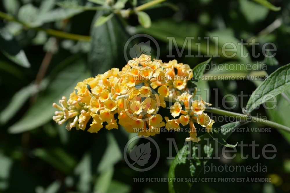 Buddleia aka Buddleja Honeycomb (Butterfly Bush) 3