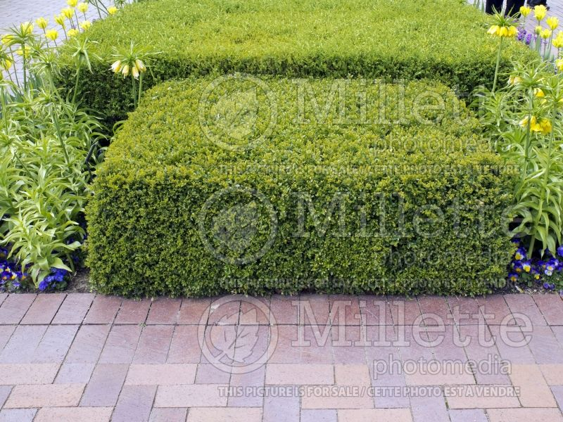 Buxus Chicagoland Green (Boxwood) 1