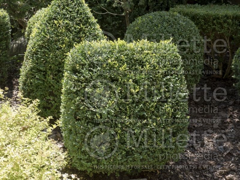 Buxus Chicagoland Green (Boxwood) 2