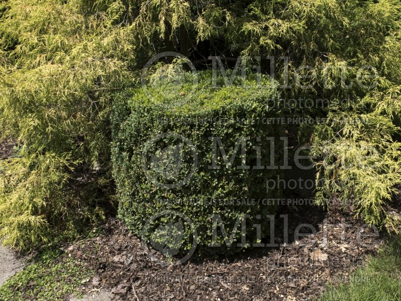 Buxus Chicagoland Green (Boxwood) 4