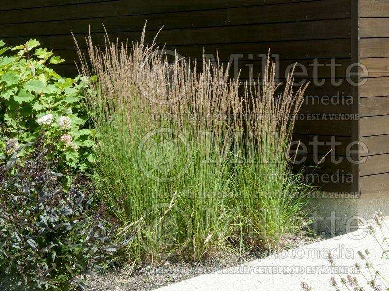 Calamagrostis Karl Foerster (Feather Reed Grass) 9