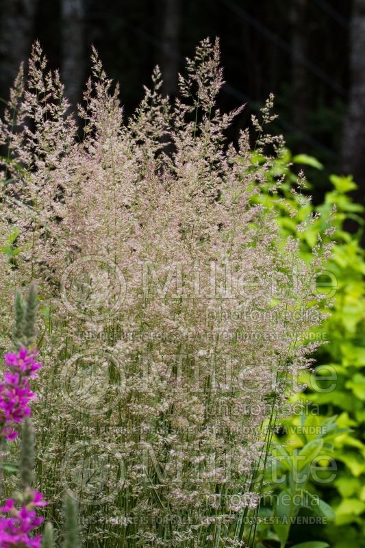 Calamagrostis Overdam (Feather Reed Grass) 8