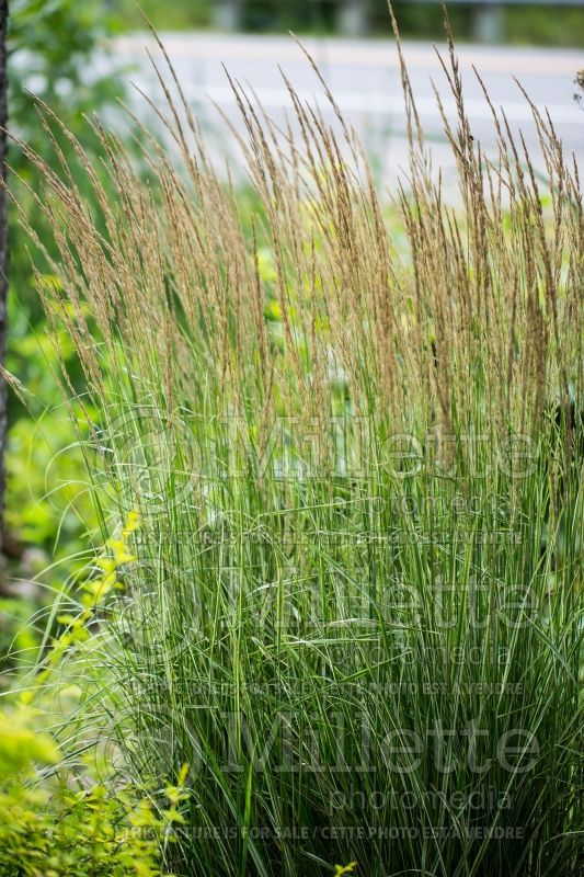 Calamagrostis Overdam (Feather Reed Grass) 9