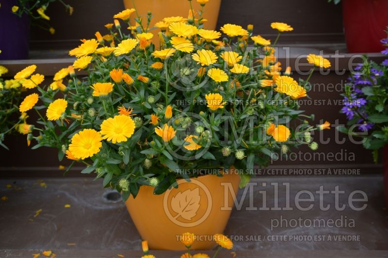 Calendula Cheers Orange (Marigold) 2