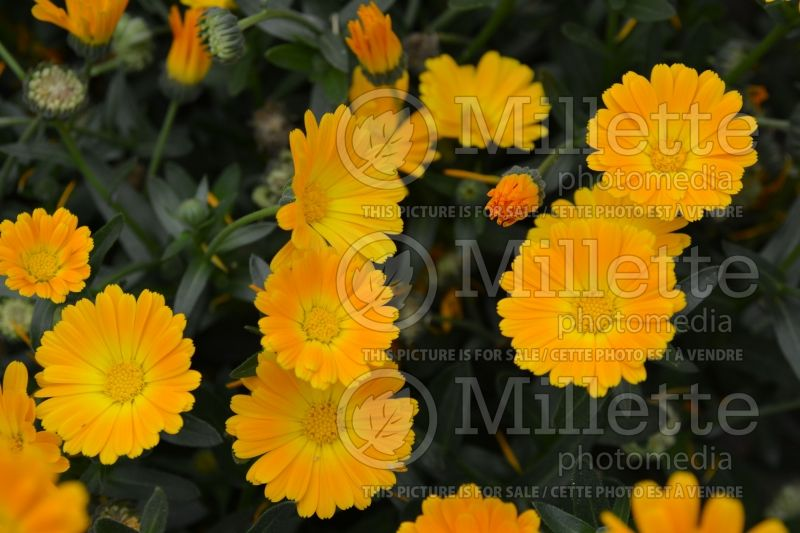 Calendula Cheers Orange (Marigold) 1