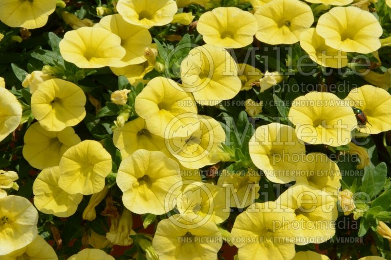 Calibrachoa Cabaret Lemon Yellow (Calibrachoa) 1