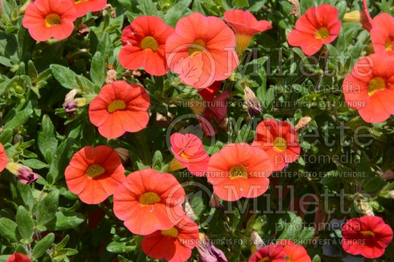 Calibrachoa Calibasket Radiant Orange (Calibrachoa) 1