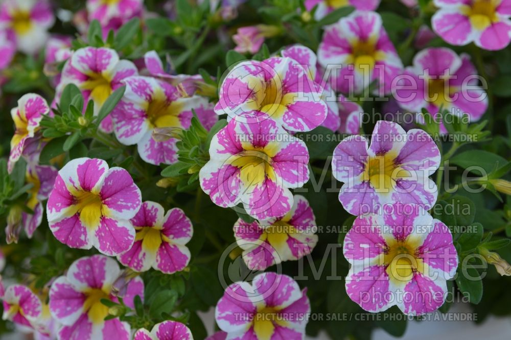 Calibrachoa Candy Shop Sweet Tart (Calibrachoa) 1